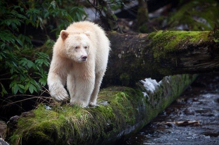 странного белый медведь альбинос фото что спасибо