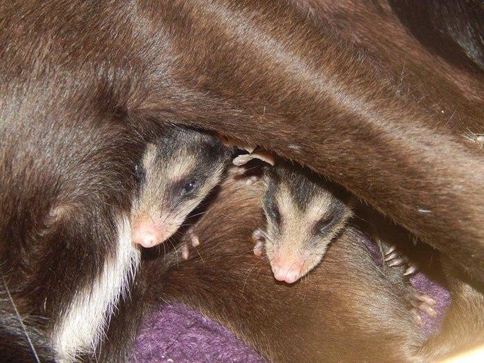 Собака приютила осиротевших маленьких опоссумов и катает их на себе.После того, как мать этих ... - 4