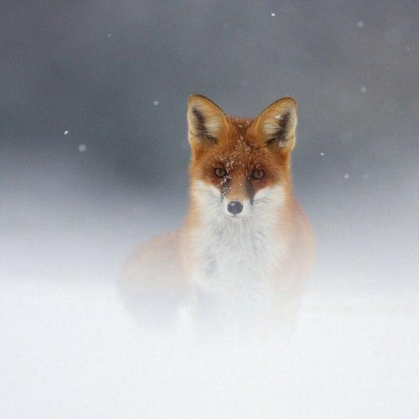 Пост обожания лис! Невозможная милота - 7
