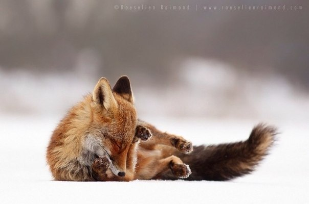 Пост обожания лис! Невозможная милота - 6