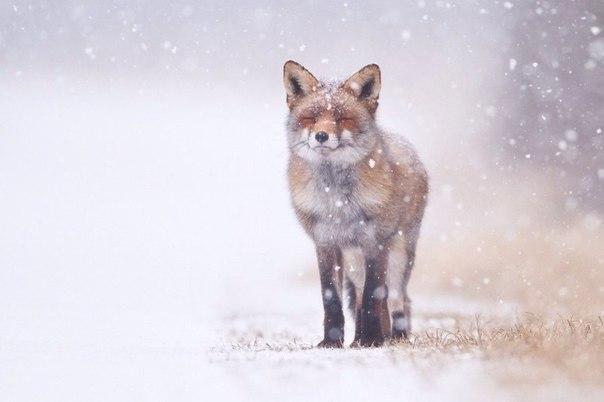 Пост обожания лис! Невозможная милота - 8