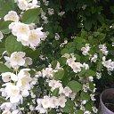 В моем саду цветет спирея Красотка