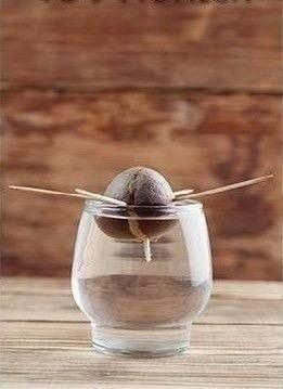 Обожаю такие эксперименты: Как дома вырастить авокадо - 3