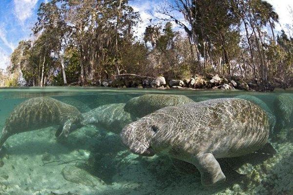 В водах Амазонии обитают не только пираньи и анаконды, но и потрясающие водные млекопитающие — ... - 4