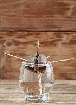 Обожаю такие эксперименты: Как дома вырастить авокадо - 4