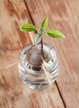 Обожаю такие эксперименты: Как дома вырастить авокадо - 5