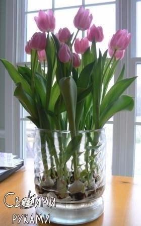 Выращивание тюльпанов в прозрачной вазе.Понадобятся низкорослые сорта. Перед тем, как высаживать ... - 6